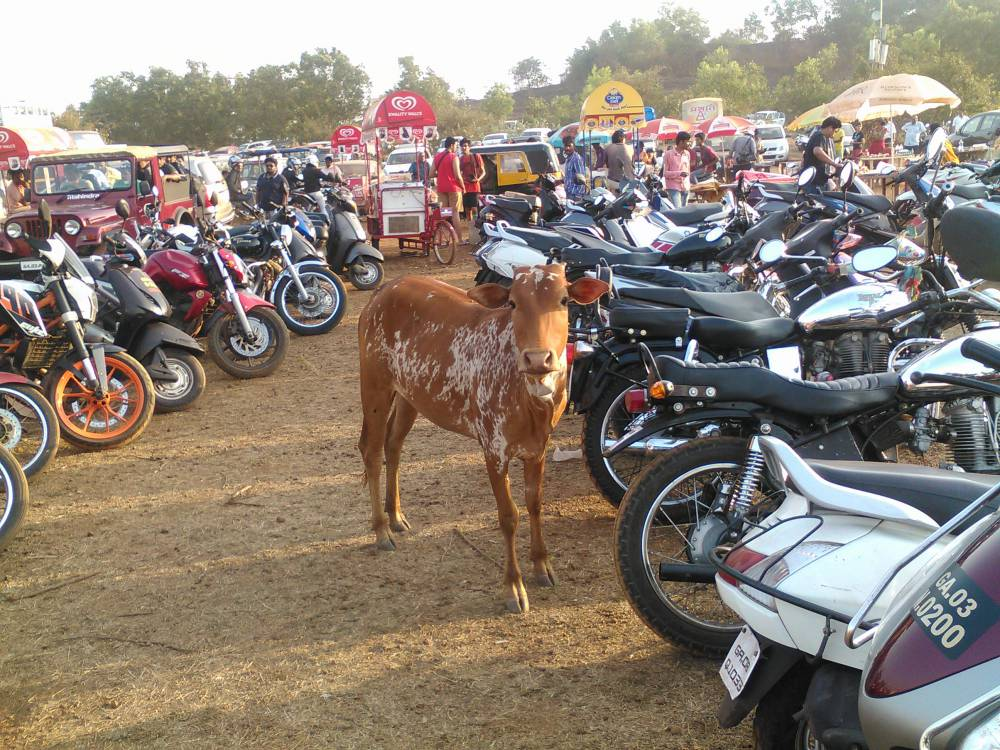 Cow attending India Bike Week 2015