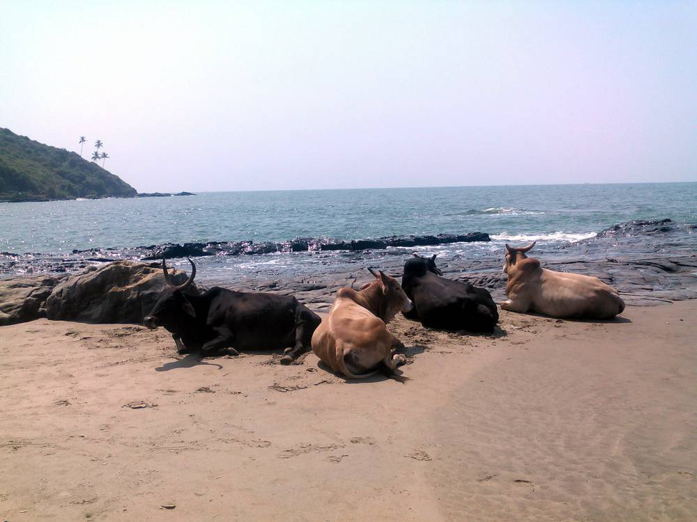 Cows on the beach at Vagator